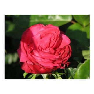 Miss All-American Beauty Hybrid Tea Rose 097 Postcard