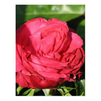 Miss All-American Beauty Hybrid Tea Rose 097 Postcard