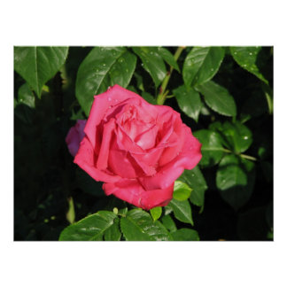 Miss All-American Beauty Hybrid Tea Rose 097 Posters