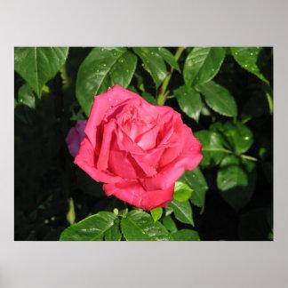 Miss All-American Beauty Hybrid Tea Rose 097 Poster