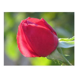 Miss All American Beauty Rose Postcard