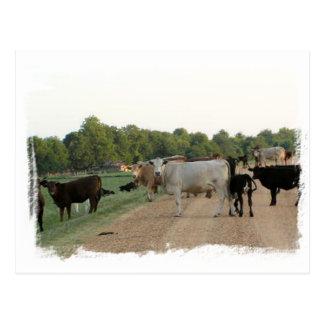 Mississippi Levee Cows Postcard