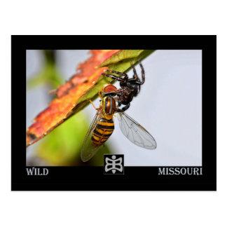 Missouri spider with Prey. Postcard