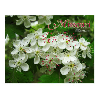 Missouri State Flower: Hawthorn Postcard