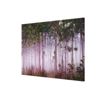 Mist among pine trees at sunrise, Everglades Canvas Print