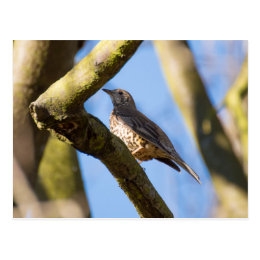 Mistle Thrush Postcard