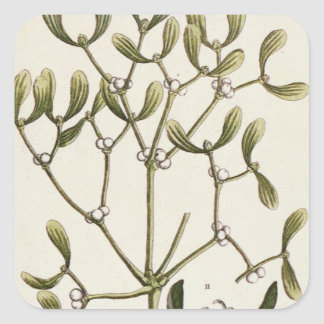 Mistletoe from 'A Curious Herbal', 1782 Square Sticker