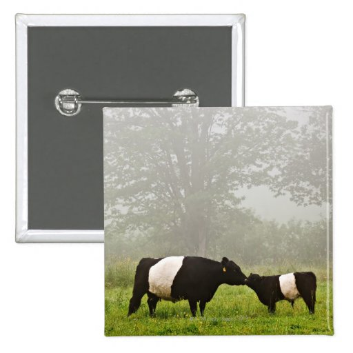 Misty scene of belted galloway cow mothering her pin