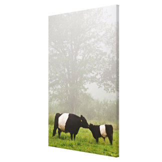 Misty scene of belted galloway cow mothering her stretched canvas print