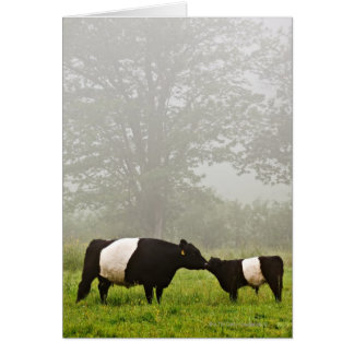 Misty scene of belted galloway cow mothering her card