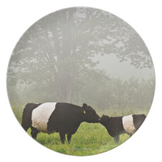 Misty scene of belted galloway cow mothering her dinner plate