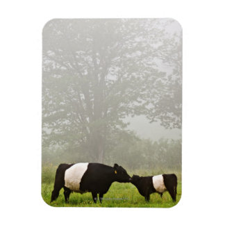 Misty scene of belted galloway cow mothering her magnet