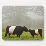 Misty scene of belted galloway cow mothering her mousepads