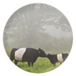 Misty scene of belted galloway cow mothering her party plate