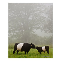 Misty scene of belted galloway cow mothering her poster