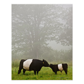 Misty scene of belted galloway cow mothering her posters