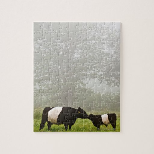 Misty scene of belted galloway cow mothering her puzzles
