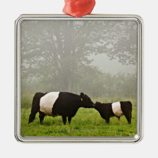 Misty scene of belted galloway cow mothering her square metal christmas ornament