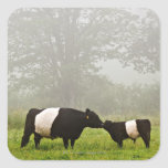 Misty scene of belted galloway cow mothering her stickers