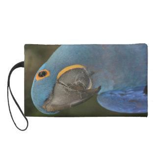 Mitón del Macaw del jacinto