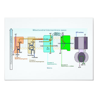 Mitonchondrial Intermembrane Space Diagram 3.5x5 Paper Invitation Card