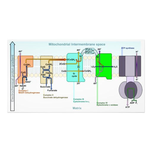 Mitonchondrial Intermembrane Space Diagram Photo Print