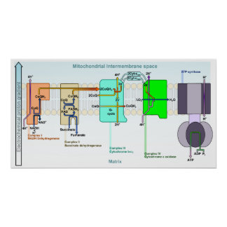 Mitonchondrial Intermembrane Space Diagram Poster