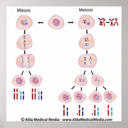 mitosis vs meiosis diagram poster