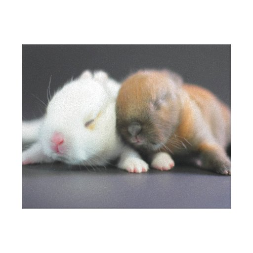 Mix breed of Netherland Dwarf Rabbits Gallery Wrap Canvas