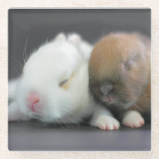Mix breed of Netherland Dwarf Rabbits Glass Coaster
