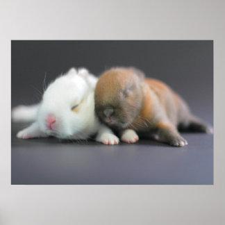 Mix breed of Netherland Dwarf Rabbits Posters