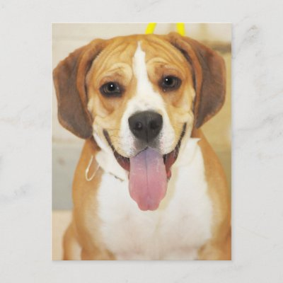 http://rlv.zcache.com/mixed_breed_beagle_bulldog_postcards-p239471264695555160trdg_400.jpg