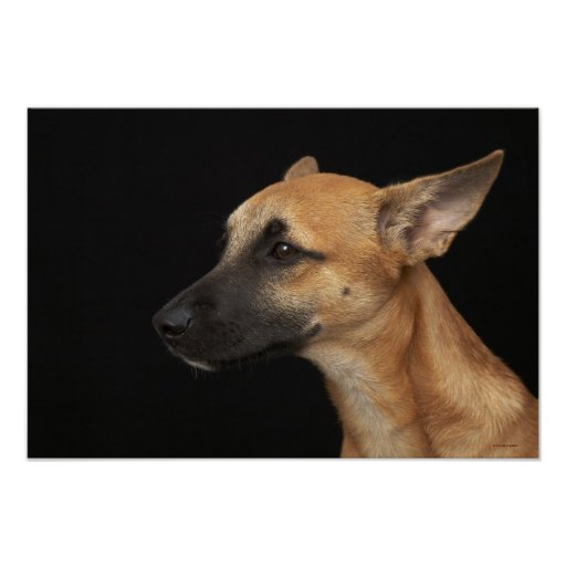 Mixed breed dog looking to the left on black poster