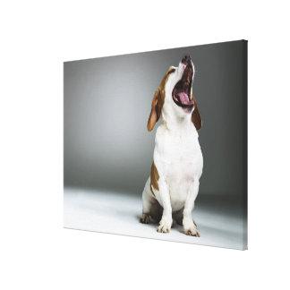 Mixed breed dog yawning, close-up canvas print