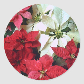 Mixed color Poinsettias 1 Classic Round Sticker