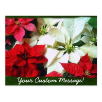 Mixed Color Poinsettias 1 Postcard