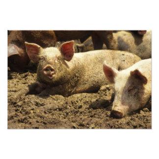 MO: Ste Genevieve, pig farm Photo Print
