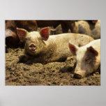 MO: Ste Genevieve, pig farm Poster