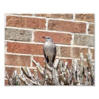 Mocking Bird on Bush in Front of Brick Building Photo Print