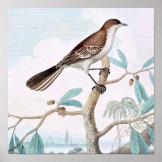 Mocking Thrush Bird Art Print