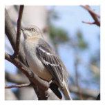 Mockingbird septentrional comunicados
