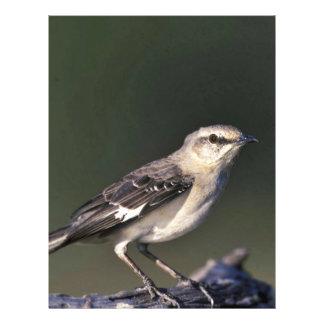 """Mockingbird septentrional folleto 8.5"""" x 11"""""""