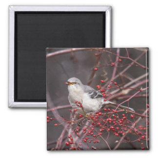 Mockingbird septentrional iman para frigorífico