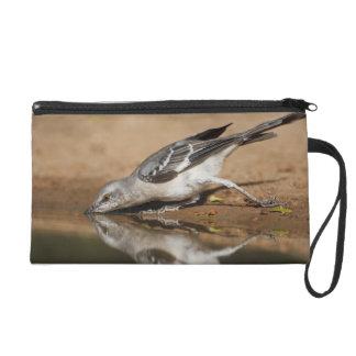 Mockingbird septentrional que bebe en el pon del s