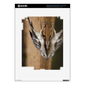 Mockingbird septentrional que bebe en el pon del s iPad 3 skin