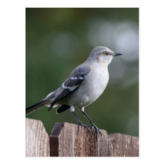 Mockingbird septentrional tarjeta postal