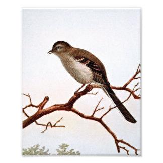 Mockingbird Vintage Illustration Photo