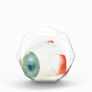 Model human eye isolated on white background.jpg award