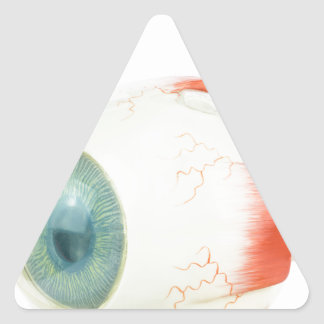 Model human eye isolated on white background.jpg triangle sticker
