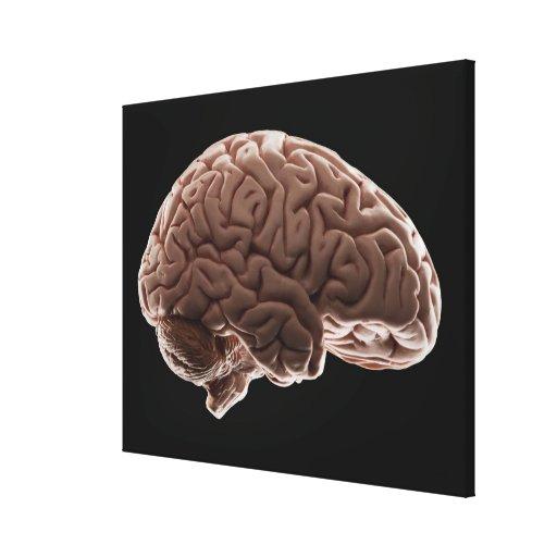 Model of human brain, studio shot canvas print